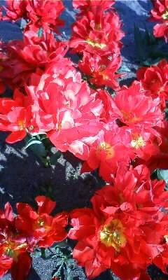 チューリップの花が♪