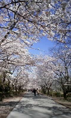 桜の花が咲き乱れ♪